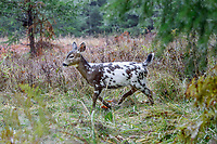 Piebald Columbian Black-tailed Deer or Coastal Black-tailed Deer (Odocoileus hemionus columbianus) on rainy fall day. Pacific Northwest.  This is a fawn born in May or June in November (roughly 6 months old).<br /> <br /> Piebaldism is a rare genetic anomaly in deer that can include a range of potential deformities, from coat coloration to skeletal alignment, from mild to severe. This is because some of the same genes that code for coat color also code for other physical traits.  Piebaldism is a recessive trait; it is believed that both parents must carry the recessive gene for there to be a chance that they will produce piebald fawns. It's also possible for a piebald doe to reproduce and bear normal fawns.