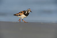 Ruddy Turnstone (Arenaria interpres), adult running, Port Aransas, Texas, USA