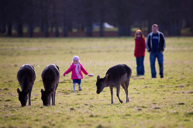 """Little girl approaches Fallow Deer in the Phoenix Park, DublinFallow Deer (Dama dama) grazing on the """"15 acres"""" in the Phoenix Park, Dublin. There's been a herd here since the 17th century. They live completely wild elsewhere in Ireland, and were introduced by the Normans in the 12th century."""