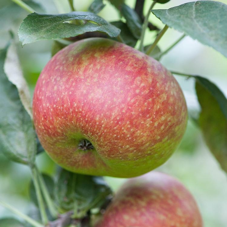 Apple 'Baumann's Reinette', mid September. A 19th century Belgian dessert apple.