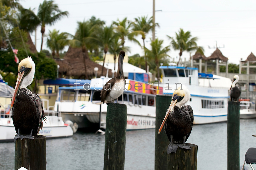 Pelicanes at Florida Keys