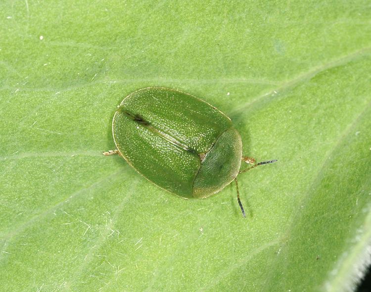 Tortoise Beetle - Cassida viridis