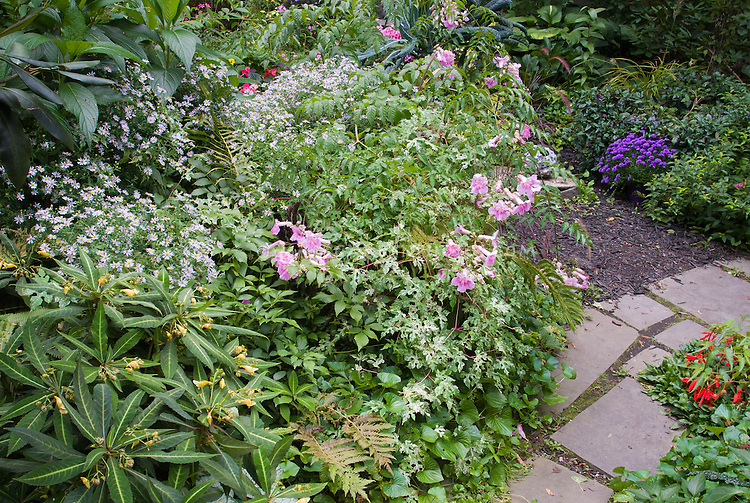 Podranea ricasoliana Pink Delight, aka Pandorea, tropical vining shrub, showing pink flowers at terminal ends of branches, in garden use with variegated Ampelopsis Elegans, Impatiens omiensis, Begonia Sunset Cruz, Asters, Matteuccia, Aster, garden stone path walkway