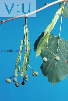 Basswood flower parts and bracts. ,Tilia americana,
