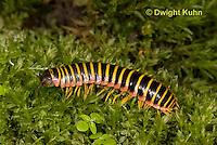 1Y15-502z Millipede, Apheloria virginiensis corrugata,  SW Virginia