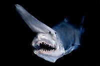 goblin shark, Mitsukurina owstoni, specimen, Japan (dc)