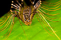 House Centipede (Scutigeridae) hunting on rainforest understory vegetation at night. Danum Valley, Sabah, Borneo. June.