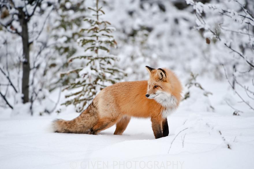 Red Fox, Alberta, Canada