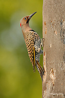 Northern Flicker (Yellow-shafted race) - Colaptes auratus - male