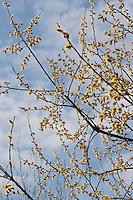 Sal-Weide, Blüten-Kätzchen, Weidenkätzchen, Weiden-Kätzchen, Kätzchen, männliche Blüten, Salweide, Saalweide, Weide, Salix caprea, Goat Willow, Pussy Willow, Sallow