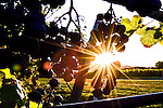 Sunrise at Anyela's Vineyards in Skaneateles, NY.