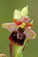 Hybride, Hybrid aus Hummel-Ragwurz, Hummelragwurz und Spinnen-Ragwurz, Spinnenragwurz, Ophrys holoserica, Ophrys fuciflora x Ophrys sphegodes, Ophrys obscura, Ragwurzen, Kerfstendel, Mimikry, Lockmimikry