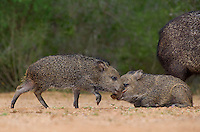 650520321 wild javelinas or collared peccaries dicolytes tajacu forage near a waterhole on santa clara ranch in starr county rio grande valley texas united states