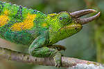 Jackson's three-horned chameleon, Bwindi Impenetrable National Park, Uganda