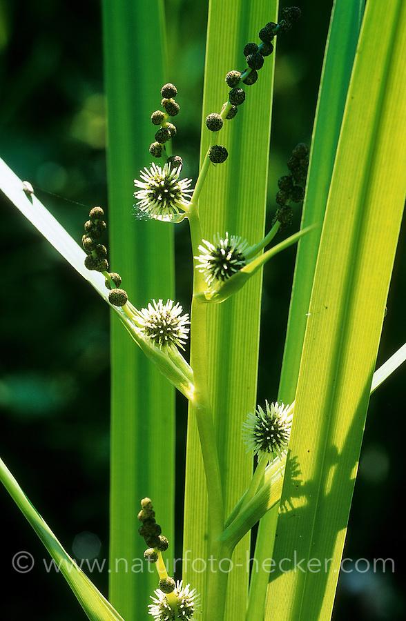 Ästiger Igelkolben, Gewöhnlicher Igelkolben, Sparganium erectum, Sparganium polyedrum, Sparganium ramosum, Bur Reed