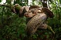 Amazon tree boa (Corallus hortulanus) coiled in rainforest understorey. Manu Biosphere Reserve, lowland Amazon rainforest, Peru.