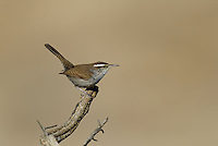 598030015 a wild bewick's wren thryomanes bewickii  perched on a twig in kern county california united states