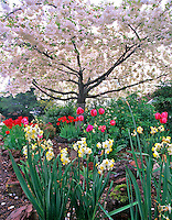 Flowering cherry tree with daffodils and tulips. Monroe, Oregon.