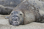 Molting elephant seal bull