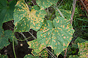 Cucumber mosaic virus, early August.