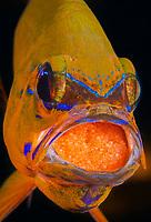 Ringtailed Cardinalfish, Apogon aureus, mouth brooding eggs, Tulamben, Bali, Indonesia, Pacific Ocean