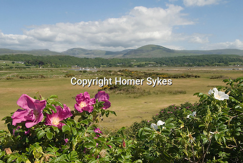 Wild Roses in sand dunes at Llandanwg Gwynedd North Wales UK. Snowdonia National Park in distance.