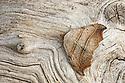 Beautiful Hook-tip (Laspeyria flexula). Peak District National Park, Derbyshire, UK. June. Focus stacked image.
