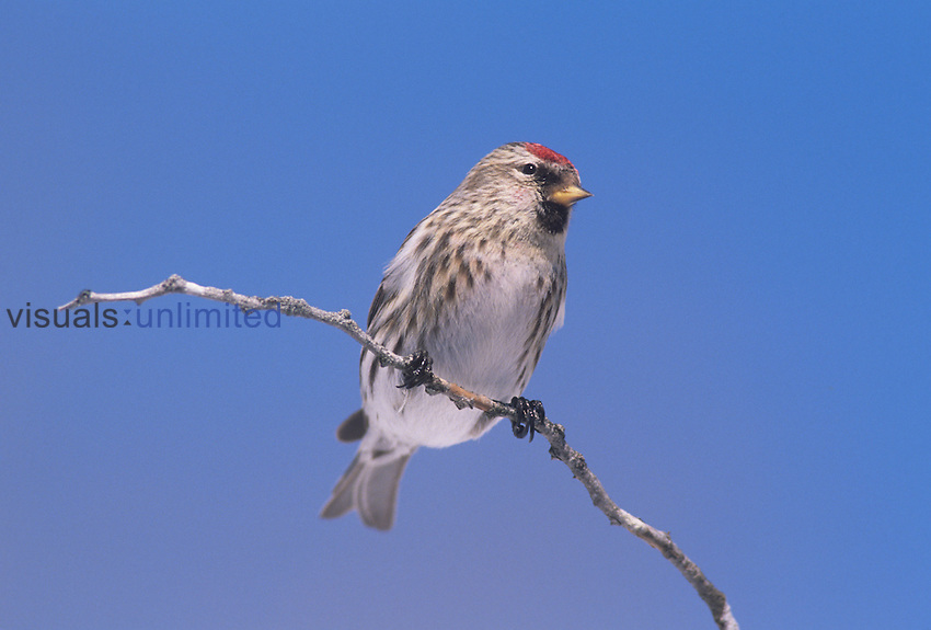 Common Redpoll ,Carduelis flammea,, North America.