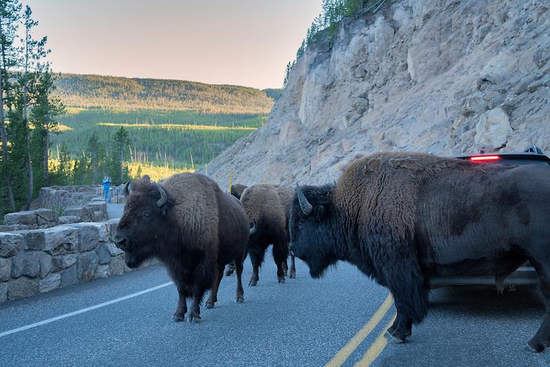 Buffalo blocking road. Yellowstone National Park, Wyoming