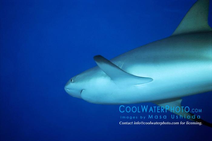 Caribbean reef shark, Carcharhinus perezi, Gramd Bahama, Bahamas, Caribbean Sea, Atlantic Ocean