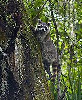 Raccoon, Myakka River State Park, Florida
