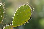 Prickly Pear Cactus, Opuntia ficus-indica, Berenty National Park, Madagascar