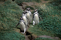 MEGALLANIC PENGUINS heading for the ocean at the SENO OTWAY COLONY (50,000 breeding pairs) - PATAGONIA, CHILE