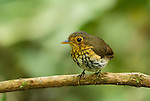 Ochre-breasted Antpitta, Grallaricula flavirostris, perched on a branch at Refugio Paz de las Aves, near Nanegalito, Ecuador