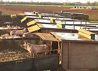 Weaners reared  in kennels.