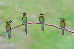 "Colourful bee eaters appear to be showing off the insects they've caught as they line up perfectly on a branch.  One of the 9-inch long birds can be seen fanning out it's wings as they land on a branch with beaks full of dragonflies.<br /> <br /> The series of images were captured by IT consultant Arindam Saha, 40, in the Khisma Forest of West Bengal, India.<br /> <br /> He said: ""I visited this place to take pictures of these beautiful blue-tailed bee eaters.  ""They come to this particular location for breeding. At this time, they were busy feeding their babies.<br /> <br /> ""They caught insects including dragonflies, moths and bees, perching on branches for a short break before entering their nests.<br /> <br /> ""The birds open their wings to help them balance on the branches.""<br /> <br /> Please byline: Arindam Saha/Solent News<br /> <br /> © Arindam Saha/Solent News & Photo Agency<br /> UK +44 (0) 2380 458800"