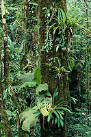 Tree trunk covered with epiphytes in Tropical Rain Forest, Dept. of Choco, Colombia.