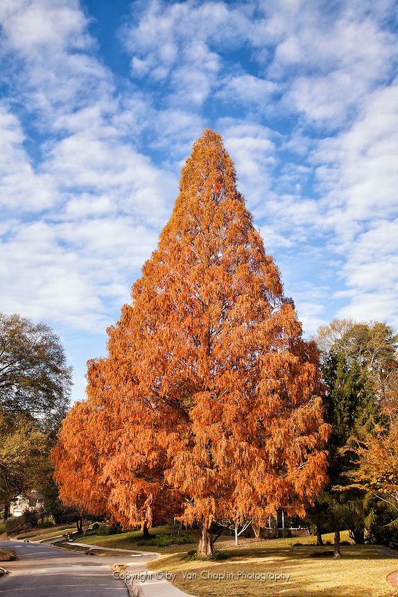 Dawn Redwood Tree in Fall Color with Cloundy Fall Sky - Vertical Image