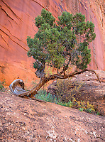 Escalante National Monument, UT: A graceful Juniper tree grows in the sandstone cliffs in Long Canyon along the Burr Trail