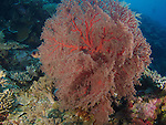 Ngerchong Drop-Off, Palau -- Red gorgonian sea fan.