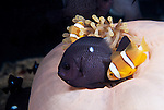 Moorea, French Polynesia; Orange-finned Anemonefish (Amphiprion chrysopterus) and juvenile Three-spot Dascyllus (Dascyllus trimaculatus)co-existing in a symbiotic relationship with a Purple Base Anemone (Heteractis magnifica), whose green color is produced through a symbiotic relationship with the algae, zooxanthellae , Copyright © Matthew Meier, matthewmeierphoto.com All Rights Reserved