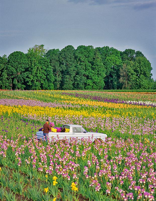 Man loading iris into vehicle. Cooley's Iris Farm, Oregon.