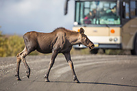 Moose calf walks across the Denali Park Road, as tourists look on from a nearby tour bus, Denali National Park, Alaska.