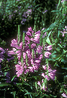 Physostegia virginiana 'Vivid', pink flowering obedient plant in autumn bloom
