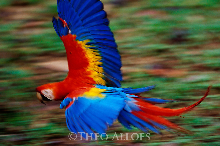 Scarlet Macaw in Flight; Tambopata River, Peru