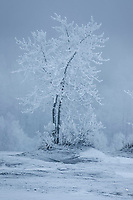 Winter landscape of frost covered trees along Knik River in the fog    in the Matanuska Valley near Palmer, Alaska.  Southcentral Alaska<br /> <br /> Photo by Jeff Schultz/SchultzPhoto.com  (C) 2019  ALL RIGHTS RESERVED