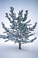 Bristlecone Pine sapling (Pinus aristata) with ice and snow, St. Albert, Alberta.