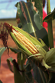 Parana State, Brazil. Maize (sweet corn, Zea mays) field with a ripe head of sweet corn in the foreground.