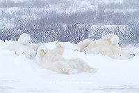 01874-13209 Polar Bears (Ursus maritimus) during snowstorm Churchill Wildlife Management Area, Churchill, MB