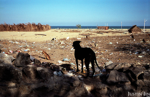 Dogs in a village near Chennai, on the southeastern coast of India, scavange through debris left by the tsunami..The December 26, 2004 tsunami killed thousands of people along this coast, smashing boats, roads and houses and tearing thousands of families apart. .Picture taken February 2005 in Nagapptinam, Tamil Nadu, India, by Justin Jin